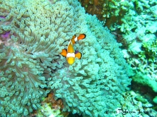 clownfish_similanislands_dive_thailand