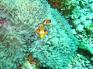 clownfish_similanislands_dive_thailand