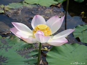Lotusflower_cambodia_travel_inspiration