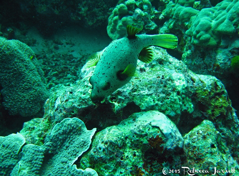 pufferfish_similanislands_thailand_dive