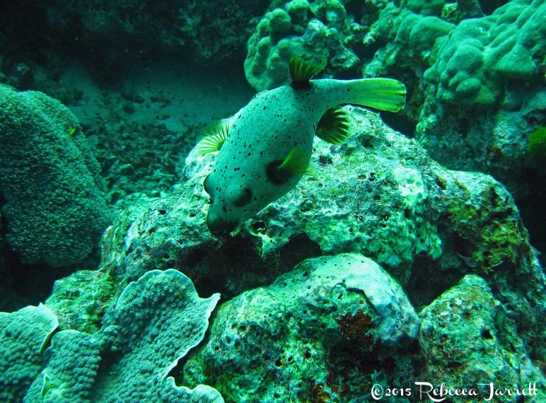 pufferfish_similanislands_thailand_dive