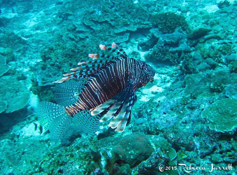 scorpionfish_dive_similanislands_thailand
