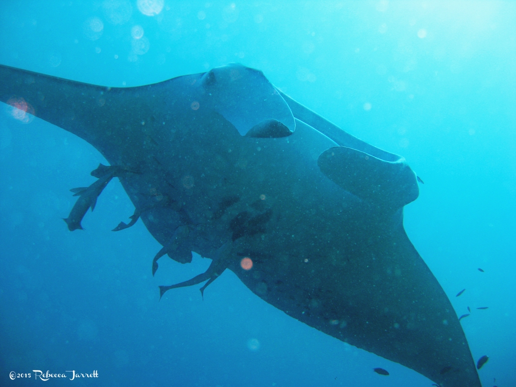 divingwithmantarays_maldives_thepersephoneperspective_travelblog11