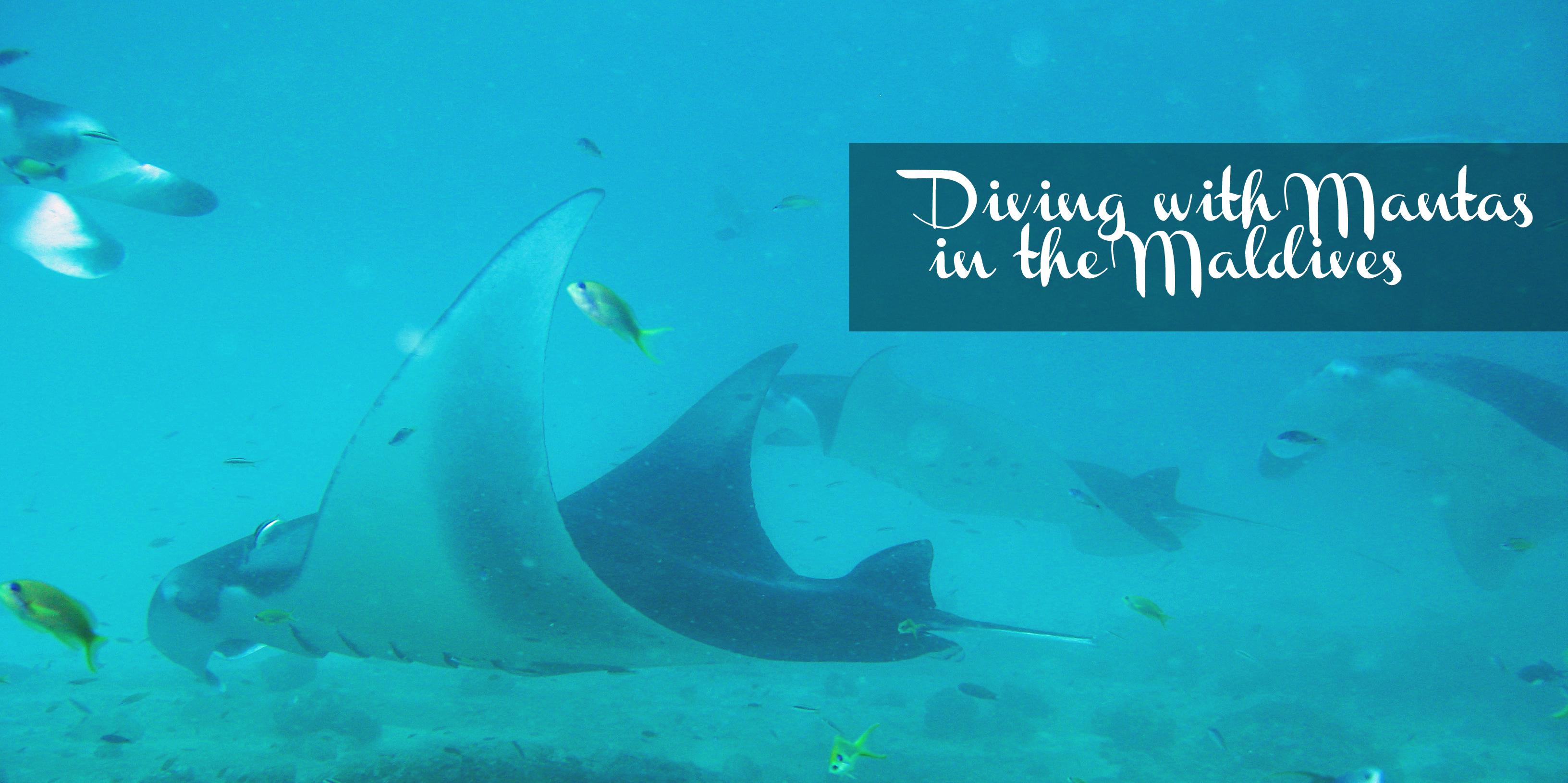 Divingwithmantasinthemaldives Travelblog Mantarays Thepersephoneperspective