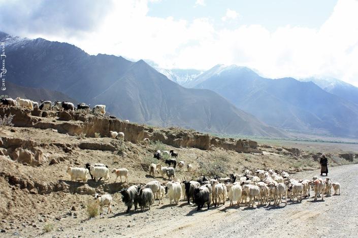 sheepherders_himalayas_tibet_thepersephoneperspective